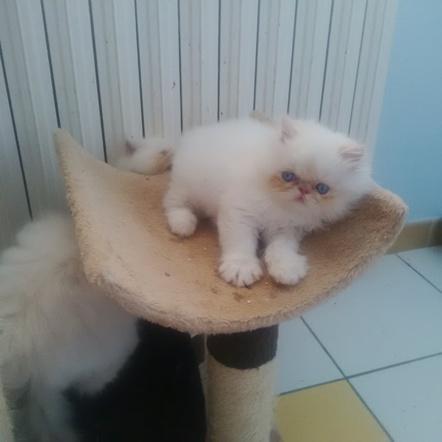 Poils longs - LOUKOUM du JOYAU CAT'HARE