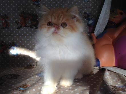 Poils longs - Mana de Pouffy Kats