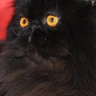 Chapy Cat's Mozart disponible