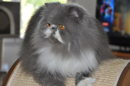 Poils longs - Chapy Cat's Milord (Vendu)